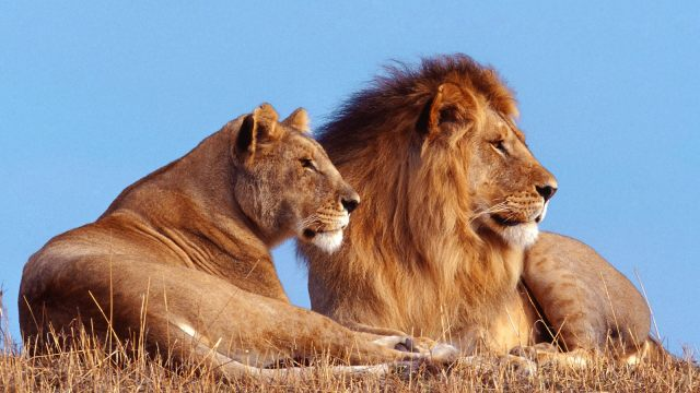 African-Lion-Wallpapers-5